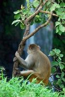 Rhesus-Makaken, Macaca-Mulatten oder Affen, die auf einem Baum vor einem Wasserfall sitzen foto