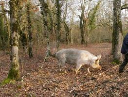 Forscher der schwarzen Trüffel mit Schwein im Perigord, Frankreich foto
