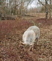 Ernte von schwarzen Trüffeln mit Hilfe eines Schweins in Lalbenque, Frankreich foto