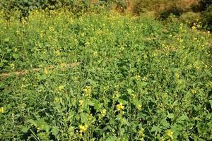 Senfblumen blühen auf der Pflanze auf dem Feld mit Schoten. Nahansicht. foto