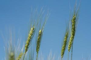 grüner Weizen auf Bio-Bauernhof-Feld foto