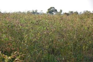 Taubenerbsenernte im Feld des Bauernhofes foto