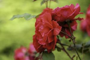 natürliche rote Geranien foto