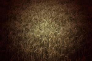 Weizen auf einem Feld foto