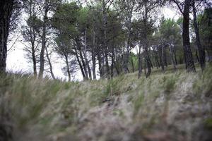 Kiefernwald natürlich foto