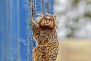Brasilianische Affen im Freien foto