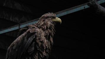 Erwachsene Seeadler Nahaufnahme. ukrainischer adler foto