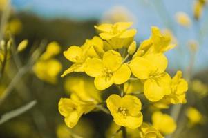 gelbe Raps- oder Rapsblüten, angebaut für das Rapsöl foto