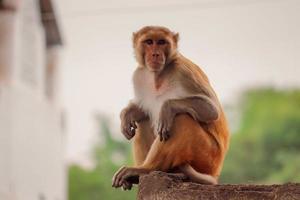 Affe sitzt an der Wand foto