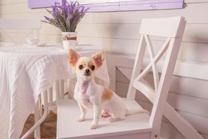 kleiner Chihuahua-Hund mit weißem Haar, der auf dem Haar ruht. weißer Chihuahua-Hund auf einem Stuhl zu Hause. foto