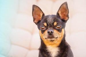 Hund auf einem beigen Hintergrund. Haustier. schwarzer Chihuahua. Chihuahua Hund schwarzes Porträt. foto