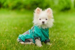 pommerscher welpen mit kleidung. Hund in einem grünen Regenmantel. Weißer Spitzwelpe in Kleidung auf dem Gras. foto