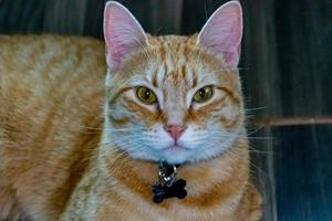 Orange Tabby in Ruhe und Spiel. calgary, alberta, kanada foto
