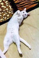 weiße Katze, die auf einem Teppich liegt. ranui, auckland, neuseeland foto