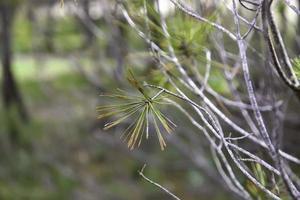 Kiefernzweige in einem Wald foto