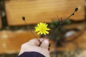 gelbes Gänseblümchen in der Hand foto