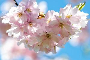 Nahaufnahmen mit selektivem Fokus. schöne Kirschblüte Sakura im Frühling über blauem Himmel. foto