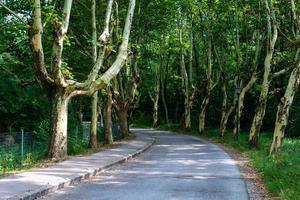 Allee von kranken Bäumen ohne Schale. die asphaltierte Straße durch die Gasse. foto
