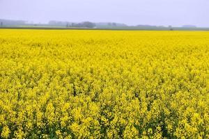 schöne gelbe Blumen, blühendes Rapsfeld foto