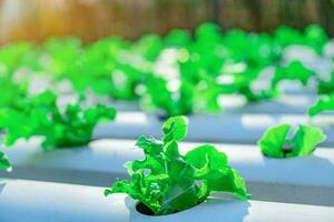 Gemüsegrüne Eiche, die in hydroponischem Fließwasser und Düngerautomatisierung auf dem Pflanzgrundstück wächst growing foto