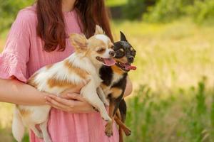 zwei Chihuahua-Hunde in den Armen. mit Haustieren spazieren gehen. weißer und schwarzer Hund mit hervorstehender Zunge. draussen foto