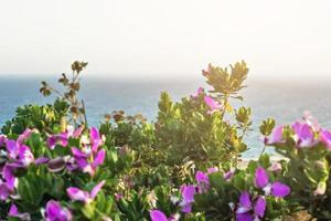 Istoda-Busch mit lila Blüten im Hintergrund des Meeres. Banner foto