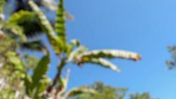 Unschärfefoto von frischen Bananenstauden und Früchten auf klarem Himmelshintergrund foto