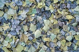 textur von gefallenen herbstlichen trockenen blättern. foto