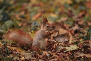 Eichhörnchen zwischen Blättern. Eichhörnchen im Herbstwald mit inmitten gelber Blätter foto