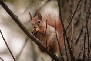 Eichhörnchen fressen Nüsse auf einem Zweig des Herbstbaums foto