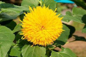gelber Teddybär Sonnenblume in einem Garten foto