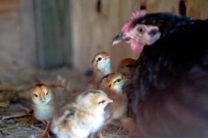Hühnermutter mit Küken foto