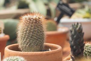 Nahaufnahme grüner Kaktus und Blume im Topf im Garten foto