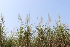 Zuckerrohr feste Nahaufnahme auf dem Feld für die Ernte foto