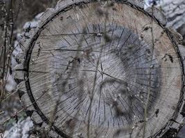 schöner trockener holzstumpf. rissige Holzstruktur auf Ahornstumpf foto