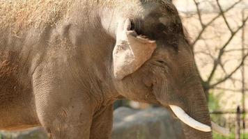 Elefant, der auf Nahrung im Zoo kaut foto