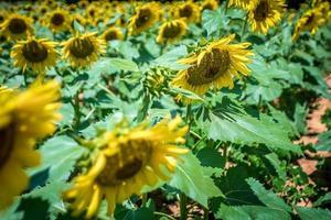 Famland gefüllt mit Sonnenblumen an einem sonnigen Tag foto
