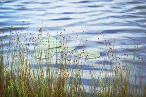Hohes Gras mit gelben Blumen, die am Seeufer mit Himmelreflexion im Wasserhintergrund wachsen foto