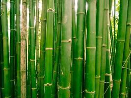 Bambuswald am Morgen, malerische Dickichte eines Bambus im tropischen Regenwald, thailand foto