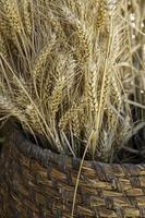 Weidenkorb mit trockenem Weizen foto