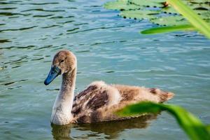 Junge Schwäne schwimmen im klaren Wasser im Teich. foto