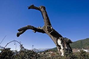 Korkeiche tot in der Sierra de Gredos, Provinz Avila, Castilla y Leon, Spanien foto