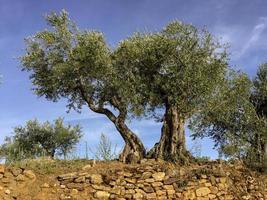 sehr alte Olivenbäume in Portugal foto