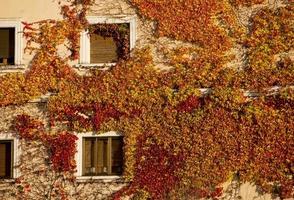 Hauswand im Herbst mit Efeu bedeckt foto