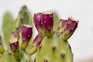 Kaktus im Detail, Portugal foto