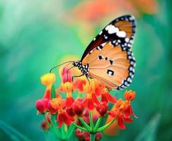 Schmetterling auf orange Blume im Garten foto