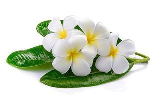 Frangipani-Blume isoliert auf weißem Hintergrund foto