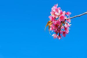 Blüte der wilden Himalaya-Kirsche, Prunus Cerasoides oder riesige Tigerblume am blauen Himmel. foto