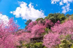 Blüte von wilder Himalaya-Kirsche, Prunus Cerasoides oder Riesentigerblume foto