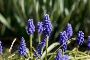 Details von Muscari-Blumen in einem Park von Madrid, Spanien foto